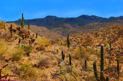 Saguaro Desert. The arid Saguaro Desert of Arizona showing native cacti on the hills Royalty Free Stock Photos