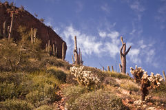 Saguaro Desert Landscape. From Tonto National Monument in Central Arizona royalty free stock photography