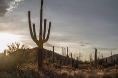 Saguaro. Desert Museum Tucson arizona Stock Photography