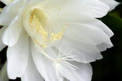 Saguaro di fioritura di notte fotografia stock libera da diritti