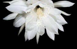 Saguaro di fioritura di notte. Inoltre conosciuto come regina del  Fotografia Stock Libera da Diritti