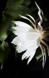 Saguaro di fioritura di notte. Inoltre conosciuto come regina della notte. Immagini Stock Libere da Diritti
