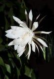 Saguaro di fioritura di notte. Inoltre conosciuto come regina della notte. Immagine Stock