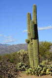 Saguaro Duo Royalty Free Stock Images