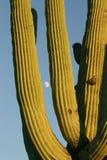 Saguaro e lua Imagens de Stock