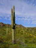 Saguaro en el pico de Picacho Imagen de archivo libre de regalías