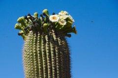 Saguaro en la floración Fotos de archivo libres de regalías
