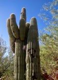 Saguaro esplêndido Fotografia de Stock Royalty Free