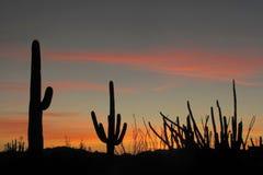 Saguaro-, för organrör och Ocotillokakturs på solnedgången i monumentet för kaktus för organrör den nationella, Arizona, USA arkivfoton