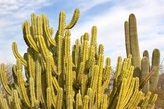 saguaro för rør för organ för arizona kaktusöken Arkivfoto