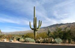 saguaro för väg för arizona kaktusöken Fotografering för Bildbyråer