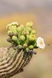Saguaro in fioritura con l'ape Fotografie Stock Libere da Diritti