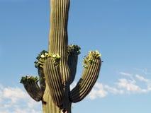 Saguaro floreciente II Foto de archivo