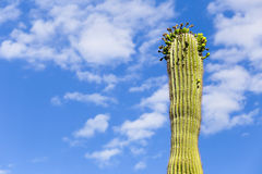 Saguaro in flower. Upper part of a saguaro cactus in Arizona, USA Stock Photo