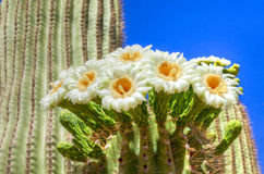 Saguaro Stock Photo