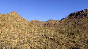 Saguaro Forest Stock Image