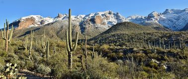 Saguaro Forest in front of Snowy Mountains. Snow and the saguaro cactus of the Sonoran Desert and Catalina Mountains outside Tucson, Arizona stock photography