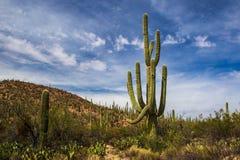 Saguaro Forest Stock Photos