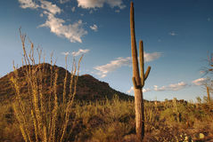 Saguaro Forest in Soft Light Royalty Free Stock Photos