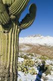 Saguaro and Four Peaks. The sonoran desert receives a much needed blanket of snow Royalty Free Stock Photo