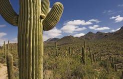 Saguaro géant Photos stock