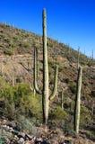 Saguaro géant en stationnement national de Saguaro Photo stock