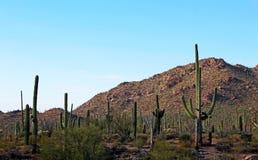 Saguaro géant, parc national de Saguaro Photographie stock