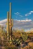 Saguaro gigante no parque nacional de Saguaro, perto de Tucson o Arizona foto de stock