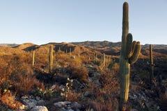 Saguaro-Hügel am Sonnenuntergang Stockbilder