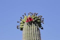 Saguaro Head Stock Photos