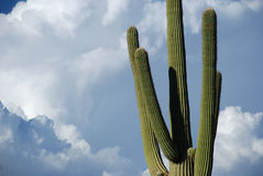 Saguaro Heaven Stock Photo
