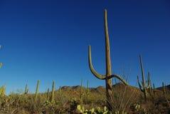 Saguaro heureux avec des amis, stationnement national de Saguaro, Arizona Images stock