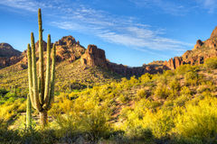 Saguaro Royalty Free Stock Images