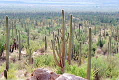 Saguaro Hill Royalty Free Stock Images