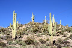 USA, Arizona: Saguaro Hilltop Royalty Free Stock Images