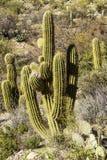 Saguaro i arizona Arkivbilder