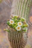 Saguaro i blom Royaltyfri Bild