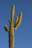 Saguaro i bogaty niebieskie niebo Obrazy Royalty Free