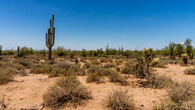 Saguaro i Cholla kaktusy w Arizona pustyni Fotografia Royalty Free