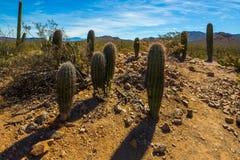Saguaro joven Fotografía de archivo