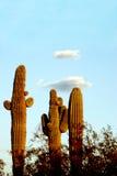 Saguaro-Kakteen lizenzfreies stockbild