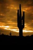 Saguaro kaktusów Arizona Kaktusowa pustynia Obraz Stock