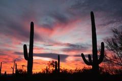 Saguaro kaktusów Sonoran pustyni zmierzchu Saguaro NP AZ Obrazy Stock