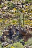 Saguaro kaktusów stojak na skalistym wypuscie na górze Lemmon, niebo wyspa Obrazy Royalty Free