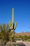 Saguaro-Kaktus Lizenzfreie Stockfotos