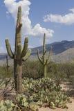 Saguaro-Kaktus lizenzfreies stockfoto