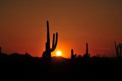 Saguaro kaktus Obrazy Royalty Free
