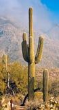 Saguaro-Kaktus Stockbild