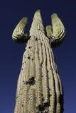 Saguaro Kaktus Zdjęcia Stock