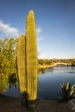 Saguaro-Kaktus - Arme entwirrt lizenzfreie stockbilder